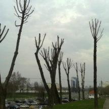 Казнённые деревья в Минске, фотофакт